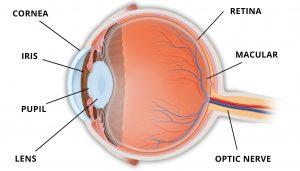 cornea